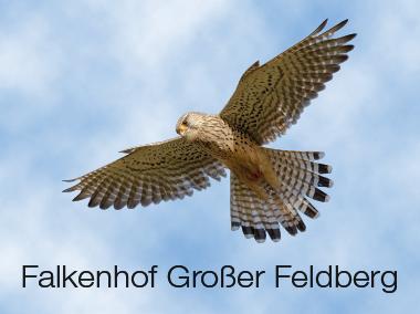Falknerei Falkenhof Großer Feldberg